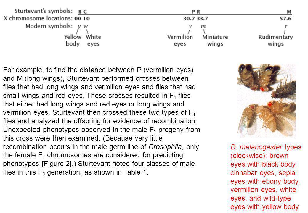 For example, to find the distance between P (vermilion eyes) and M (long wings), Sturtevant performed crosses between flies that had long wings and vermilion eyes and flies that had small wings and red eyes. These crosses resulted in F1 flies that either had long wings and red eyes or long wings and vermilion eyes. Sturtevant then crossed these two types of F1 flies and analyzed the offspring for evidence of recombination. Unexpected phenotypes observed in the male F2 progeny from this cross were then examined. (Because very little recombination occurs in the male germ line of Drosophila, only the female F1 chromosomes are considered for predicting phenotypes [Figure 2].) Sturtevant noted four classes of male flies in this F2 generation, as shown in Table 1.